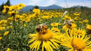 photo of bees and flowers to use
